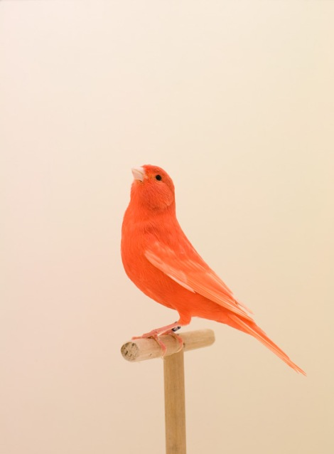 Luke Stephenson Incomplete Dictionary of Show Birds Red Canary